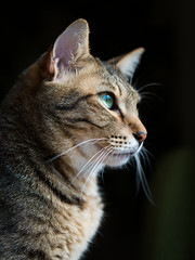 Portrait of a tabby cat (rampx) Tags: cat pentax availablelight tabby side neko 猫 ねこ kotaro miaw 645z