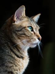 Portrait of a tabby cat (rampx) Tags: cat pentax availablelight tabby side neko   kotaro miaw 645z