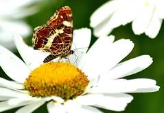 Landkärtchen - Schmetterling (Jäger & Sammler) Tags: butterfly germany deutschland nikon foto natur blumen gelb weiss schmetterling naturfotos landkärtchen edelfalter d3100