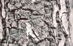 bark II (crodriguesc) Tags: bw white black art film nature analog 35mm photography grey nikon fotografie forrest iso400 kunst natur struktur structure f65 xp2 bark sw 35 holz weiss ilford baum schwarz rinde forres risse f6 stuktur filmfotografie