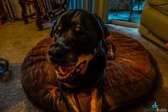 Tyson (dbubis) Tags: dog rottweiler bubis dbphoto nex6