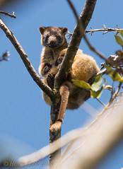 Lumholtzi-9564 (Henry.Cook) Tags: bear wild baby tree male nature animal female mammal furry teddy joey wildlife kangaroo pouch queensland marsupial rare lumholtz malanda dendrolaguslumholtzi lumholtzs