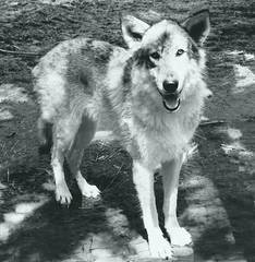 Milou, le loup. Miou,the wolf (Amiela40) Tags: wolf loup