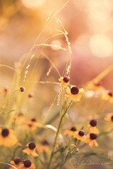 Blissful (AlyKPhoto) Tags: summer sun plant flower nature yellow canon botanical outside happy weed flora warm blossom warmth sunny 100mm bloom 6d