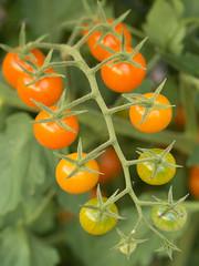 Cherry Tomatoes (Scott Atwood) Tags: red summer green garden tomato gardening tomatoes olympus cherrytomatoes containergarden cherrytomato containergardening earthbox olympusomd olympusomdem5 olympus60mmf28 olympus60mmf28macro