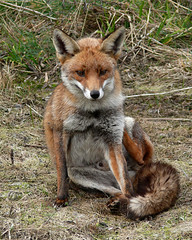 Fox (Peanut1371) Tags: red mammal tail fox cleethorpes urbanfoxes nationalgeographicwildlife