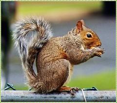 Grey squirrel...with golden brown overtones *Explored* (MissyPenny) Tags: grey wildlife explore easterngreysquirrel southeasternpa greysquirrelwildlife