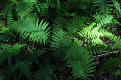 Fern (Alcona1) Tags: green nature forest ferns lightandshadow