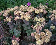 Sedum telephium subsp. ruprechtii