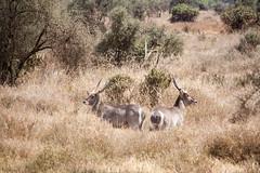 Kenia-Tanzania_Agosto2014_0749_17072014.jpg (rostras) Tags: animal kenia amboseli gacela mamífero áfrica ungulados