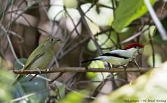 Araripe Manakin - Soldadinho-do-Araripe - Antilophia bokermanni