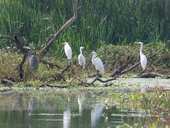 P2340097.jpg  Great Egrets (Ardea alba) (ldjaffe) Tags: greatblueheron greategrets ardeaalba