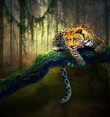 Leopard of stalked (jaci XIII) Tags: forest mammal leopardo feline leopard felino hunter floresta mamfero caador