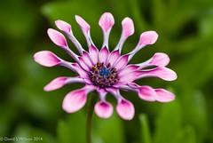 Starshine (David S Wilson) Tags: uk flowers england flower bokeh daisy ely fens osteospurnum 2014 flowersplants nikon1 davidswilson lightroom5 micronikkor40mmf28lens