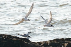 Terned Off. (stonefaction) Tags: nature birds scotland angus wildlife tern arbroath roseate