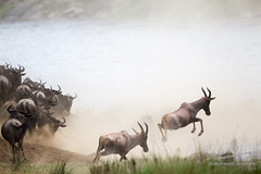 Crossing Frenzy! (matthew.scerri) Tags: travel crossing kenya wildlife mara migration maasai wildebeest topi 2014 maasaimara greatmigration