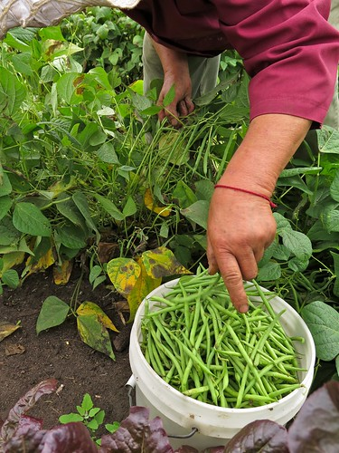 From flickr.com: IMG_3942 Mao picking green beans HAFA FARM {MID-150427}