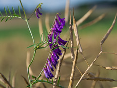 Purple flower (bertrandwaridel) Tags: summer nature field switzerland purple suisse july vaud 2014 echallens