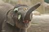1. Radza Junior (K.Verhulst) Tags: elephant elephants emmen noorderdierenpark olifanten dierentuinemmen asiaticelephants specanimal aziatischeolifanten