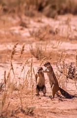 Paire d'écureuils fouisseurs (trekmaniac-is-back) Tags: 1998 animaux diapo afriquedusud tweerivieren gemsbokkalahari