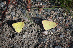 Clouded sulphur butterflies, Colias philodice (Chalicerae) Tags: macro canon bug insect wings insects hobby lepidoptera naturist canonlens butterfliesbutterflylepidopteracoliascloudedsulphurnature amateurlepidopterist