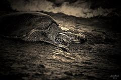 IMG_4987 (aaron_boost) Tags: hawaii oahu turtle northshore honu honolulu haleiwa aaronboost