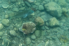 DSC_5469.jpg (d3_plus) Tags: sea sky fish beach japan scenery diving snorkeling  shizuoka   j1  izu     skindiving minamiizu     nikon1  blackporgy blackseabream hirizo   nakagi nikon1j1 1nikkor185mmf18  beachhirizo misakafishingport