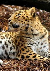 amur leopard (mevrain) Tags: cats leopard amurleopard