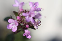Flower Ventoux (comparato) Tags: flower macro provence flore macrophotography ventoux montventoux macrophotographie