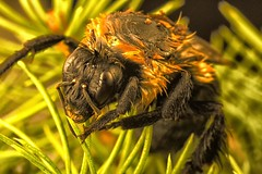 Wet Bombus in Pine (MedicineMan4040) Tags: