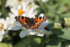 Small Tortoise shell butterfly (Sandra Király Pictures) Tags: butterfly poland krakow kraków smalltortoiseshellbutterfly