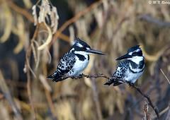 DSC_7848 (mnreddy9) Tags: kenya africanwildlife africanbirds lakebaringo malefemalekingfisher