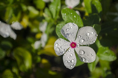 _DSC0581 (McDaiquri) Tags: flower nature outside outdoor waterdroplets naturephotography flowerphotogarphy nikond5100