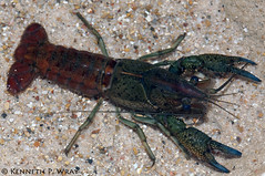crayfish research paper New crayfish species named after edward snowden proved them as a new crayfish species their research is crayfish research paper speak of him.