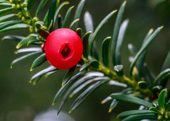 Yew berry...or a tiny red spy cam? (tods_photo) Tags: autumn red green berry cam spy yew 2014