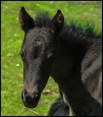 (Dorron) Tags: horse caballo nikon san sebastian country mount monte basque urko vasco euskadi donostia pais mendia potro guipuzcoa gipuzkoa euskal herria zaldia sagasti dorronsoro dorron onddi d3s