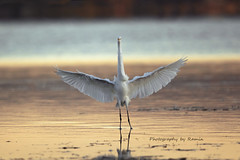 Golden landing !!! (Photography by Ramin) Tags: great egret ottawa river golden light flight beauty beautyoffeather wildbirds wildlife canadian bird bif birds ontario ngc