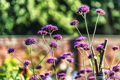 garden bokeh (robinta) Tags: outdoors bokeh garden flowers victorian colour telephoto contrast pentax ks1 sigma18200mmhsmc nationaltust gibside dof
