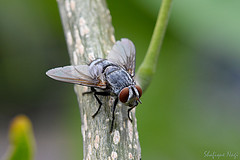 housefly (in Explore) (kiki nagi) Tags: insects fly flies housefly macro nikond7200