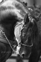 Caballo negro (josejuanzavala) Tags: horse caballo blackhorse blackandwhite