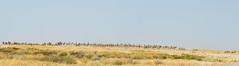 salvadora II ~r (andr & riette) Tags: plainszebra vlaktezebra zebra etosha namibia etoshanationalpark salvadora burchellszebra pictureswild andrriette