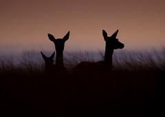 Early Morning, Big Moor (Peter Quinn1) Tags: bigmoor derbyshire reddeer doe silhouette earlymorning dawn