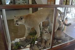 Mt Rainier Natl Park - Longmire - Longmire Museum - Cougar (Mountain Lion) (jrozwado) Tags: northamerica usa washington mtrainier nationalpark museum cougar puma mountainlion taxidermy