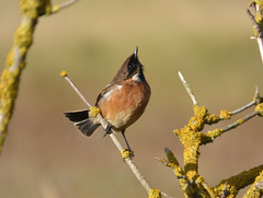 Stonechat (Peanut1371) Tags: stonechat chat bird branch nationalgeographicwildlife