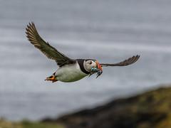Puffin (Paul A West) Tags: farne farneisles2015 puffin nature bird coast northumberland sea