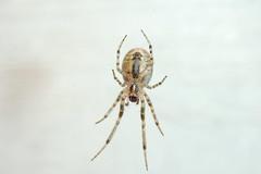 Arachtober 10 - Zygiella x-notata - ventral view (Procrustes2007) Tags: arachtober10 missingsectororbweaver zygiellaxnotata arachnid spider nikond50 afsnikkor1855eddx closeuplens flash greatcornard sudbury suffolk uk britain england gridreftl883407