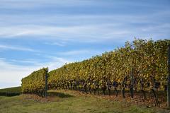 Grappoli d'uva - Bunches of grapes. (sinetempore) Tags: paesaggio landscape langhe barolo vigneti vineyards vino wine colline hills cielo sky nuvole clouds piemonte piedmont uva grapes grappoliduva bunchesofgrapes