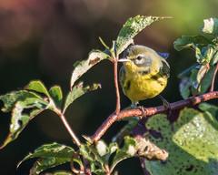 Prairie Warbler (J.B. Churchill) Tags: baysidepoint birds maryland praw places prairiewarbler taxonomy warblers worcester berlin unitedstates us