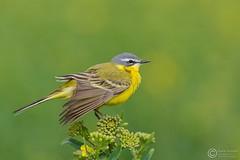 Pliszka ta, Yellow Wagtail (Motacilla flava) ... 2016r (Rafa Szozda) Tags: birds nature animals wildlife colors yellow spring nikon d7200 nikkor200500 nowasol lubuskie poland