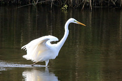 Grote zilverreiger in het Diemerpark (diemerparkijburg) Tags: grote zilverreiger diemerpark ardea alba great egret grande aigrette